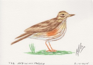 732 RED WING THRUSH