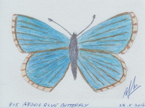 805 ADONIS BLUE BUTTERFLY