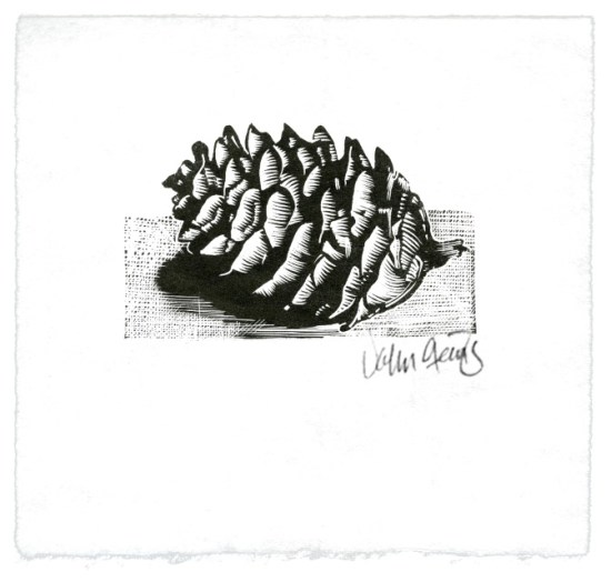 Wood engraving depicting a spruce cone