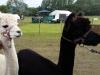 alpacas (7)