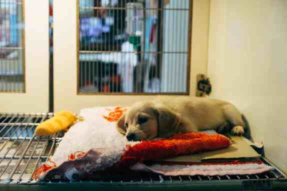 ลูกสุนัขนอนป่วยในกรงบนพรมสีขาวแดง