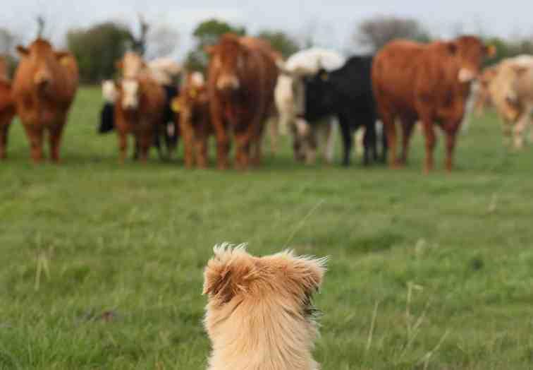 สุนัขสีน้ำตาลกำลังจ้องวัวบนพื้นหญ้าสีเขียว