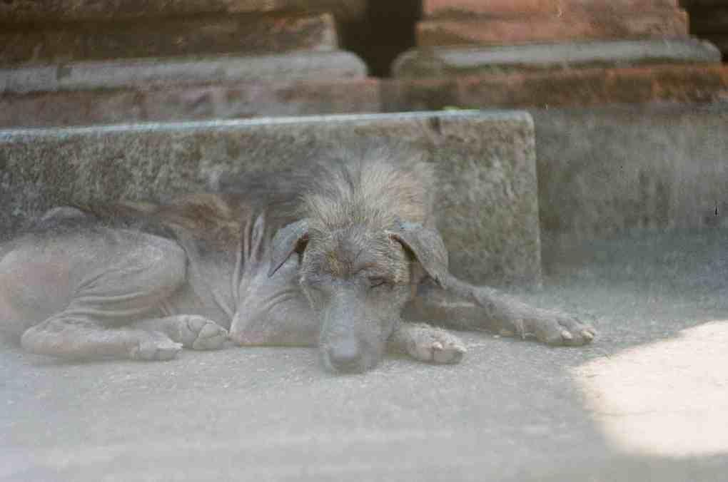 สุนัขป่วยสีดำนอนซมอยู่บนพื้นคอนกรีต
