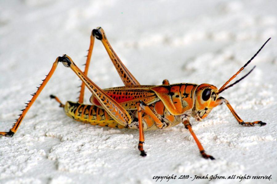 grasshopper photo in orange and yellow