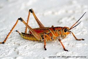 grasshopper photo in orange and yellow