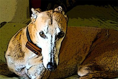 blue fawn greyhound dog