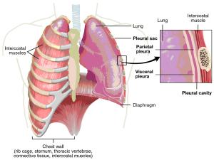 Lung pleura