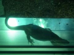 A water monitor lizard at the Zoologischer Garten Berlin aquarium.