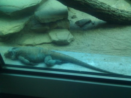 A black iguana at the Zoologischer Garten Berlin aquarium. This particular example of the species wasn't moving quickly at the time, but it nevertheless holds the lizard speed record, at 21.7 mph.