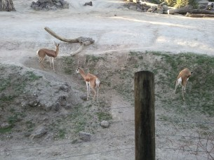 "Springboks at the Auckland Zoo, known for ""stotting"" when threatened: leaping into the air, where all 4 feet leave from and return to the ground simultaneously."