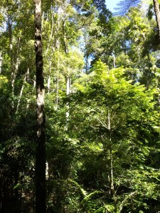 Rainforest trees at Rainforestation. Though this part of Australia has a tropical climate, it was autumn, so the temperature even here was in the 70's and comfortable.