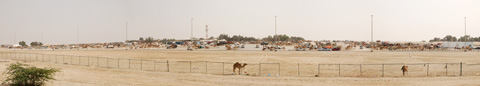 Panoramic image of a camel market in Abu Dhabi