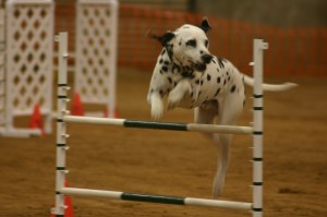 Dog agility events ROCK