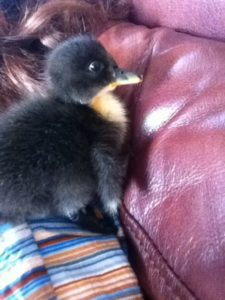Couch Duck