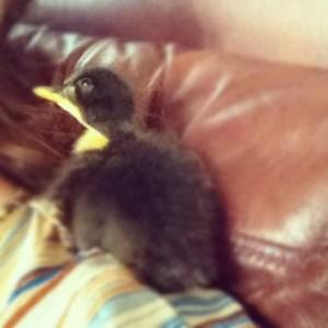 Duckling Dear