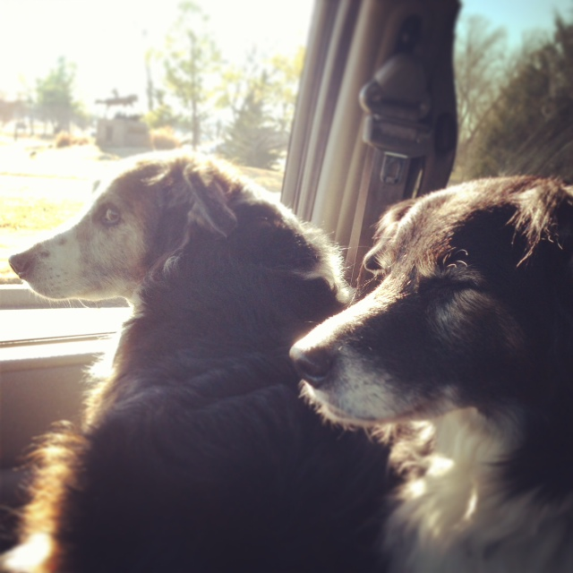 In the car, dogs riding