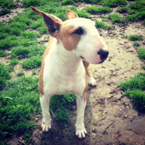 Beautiful example of a Bull Terrier