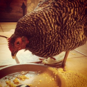 Eggs are good protein, even for chickens