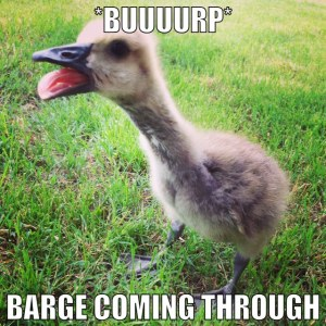 Burping gosling