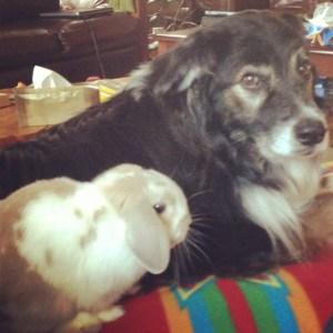 Holland Lop and Australian Shepherd