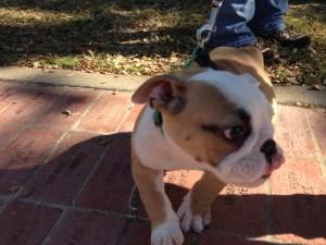 English Bulldog pup with attitude