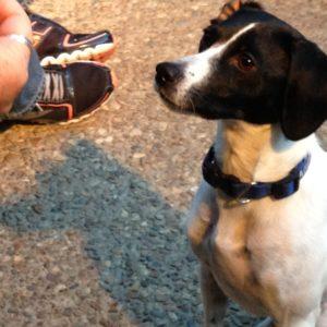 A focused little dog awaits his Jones chew