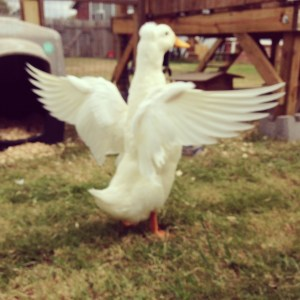 A duck that can't fly