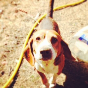 Boomer the Beagle begs for a bone