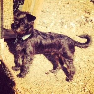 Handsome Affen puppy