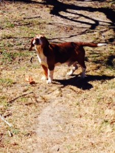 AROOOO - Boomer the Beagle