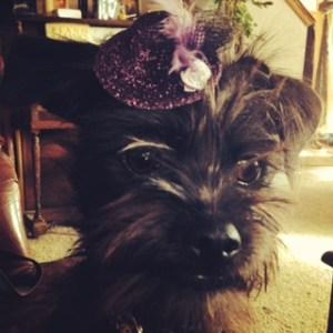 Affenpinscher pup in a hat