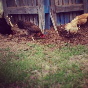 Chickens looking for bugs