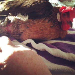 Injured Brown Leghorn