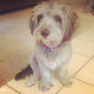 Lola the Schnoodle