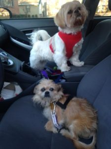Shih Tzu and Brussels Griffon in a Prius