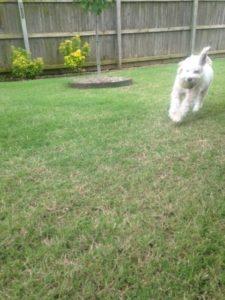 Maltipoo plays fetch