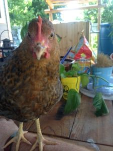 CB the young chicken mutt