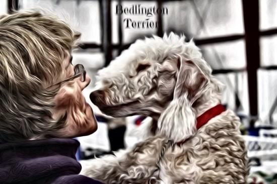 Bedlington Terrier thru the SuperPhoto app for smart phones