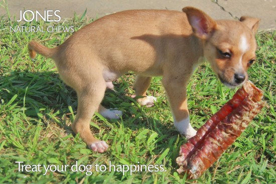 Scooby the Chihuahua puppy is happy with the six inch Windee from Jones Natural Chews