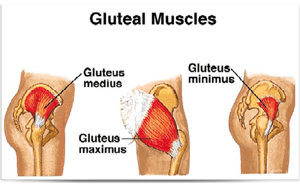 Image result for gluteus medius