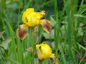 Yellow Iris' (Iries? *shrug*)
