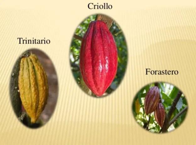 Domori-cultivar