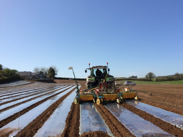 Sowing maize under plastic