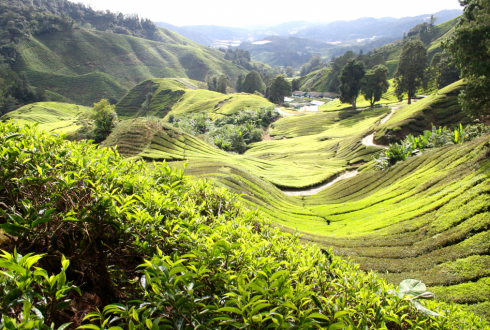 Cameron Highlands picture