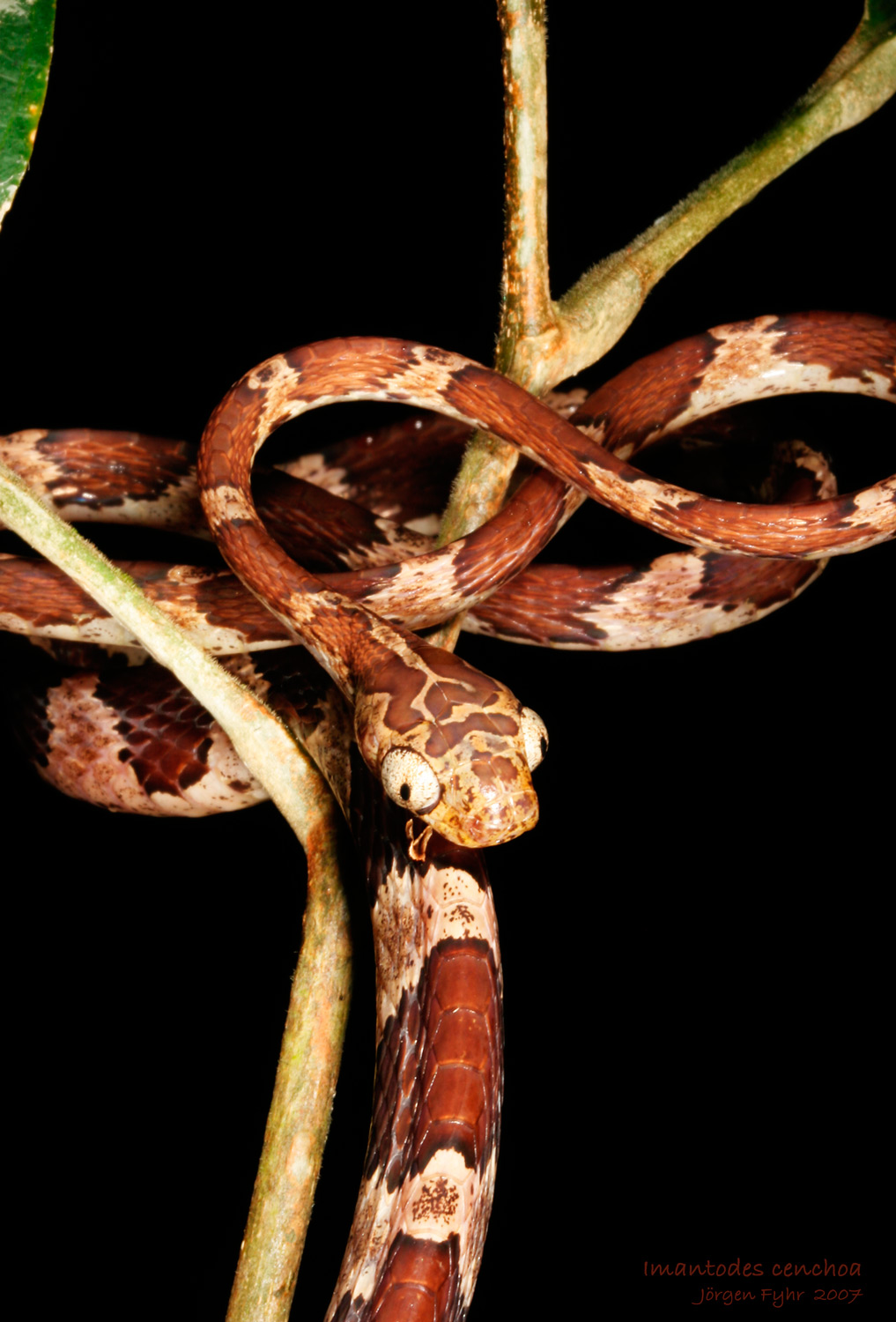 Neotropical Snakes