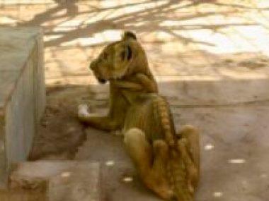 Os leões estão morrendo de fome em um parque no Sudão. Uma campanha mundial está em andamento para salvá-los.