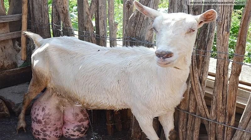 A Paraíba é a maior produtora de leite de cabra do país