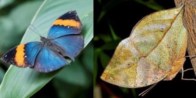 borboletas-que-sao-mestres-da-camuflagem-1
