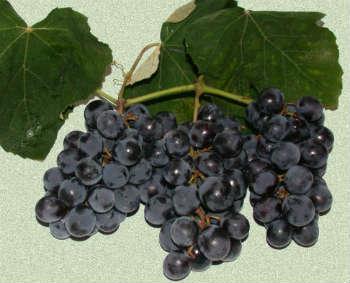 Brasil é a terra (adotiva) da uva Isabel