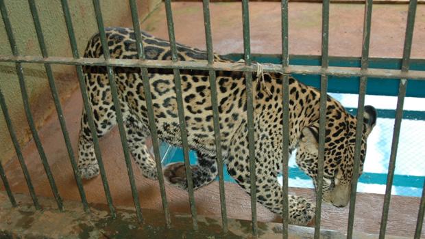 Diretor do Zoológico de Goiânia dá sua opinião sobre caso do menino que teve braço dilacerado por tigre